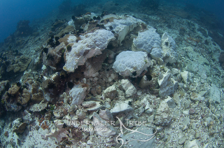 A freshly dynamited coral head with several dead fish lying on on the bottom, destroyed by dynamite fishing on the outskirts of Komodo National Park, Rinca Island, Flores, Indonesia, Pacific Ocean