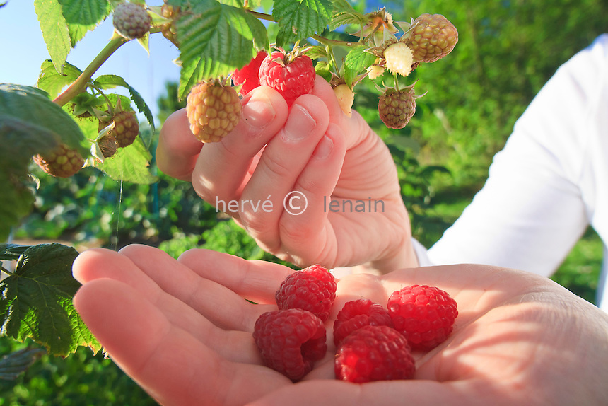 Cueillette de framboises // Picking of raspberries.