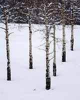Pebble Creek aspens deep into winter. NW Yellowstone, Wyoming.