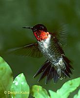 HU11-019x  Ruby-throated Hummingbird - male flying -  Archilochus colubris