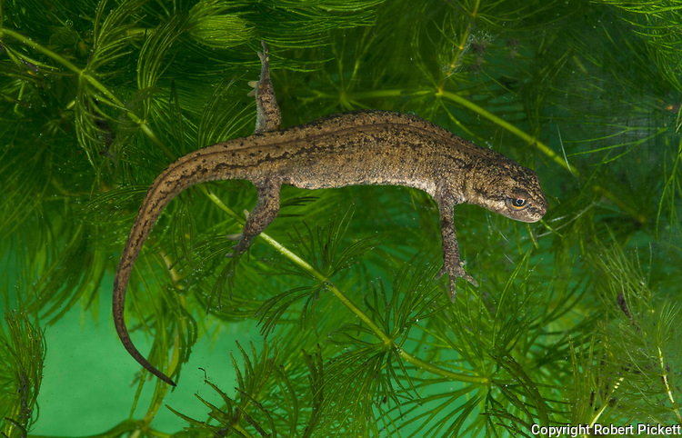 Smooth Newt, Triturus vulgaris, swimming in pond and weed, garden