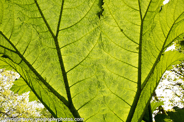 Underneath huge leaf of Giant Gunnera plant, Gunnera manicata, growing wild Trenoweth, near St Keverne, Cornwall, England, UK