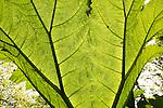 Underneath huge leaf of Giant Gunnera plant, Gunnera manicata, growing wild Trenoweth, near St Keverne, Cornwall, England, UK
