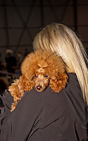 Pudel resting it's head on the owners shoulder during a pause at the International Dog Show in Prague the Czech Republic, May 2014.