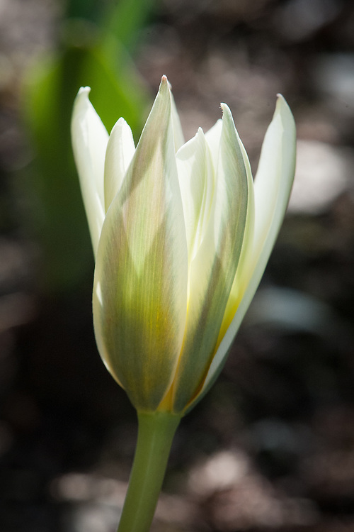 Tulip 'Ice Stick', mid March. Officially classified as a Kaufmanniana Hybrid, this early flowering, clusiana-like tulip is white with a spreading yellow base and purplish-rose petal segments.