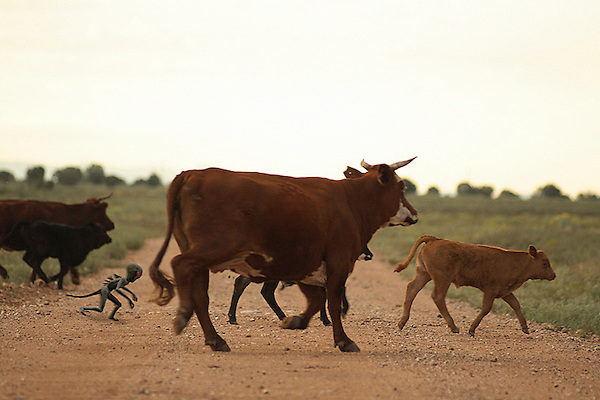 A chupacabdra is seen chasing cattle across a dirt road