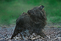 650520003 a wild javelina or collared peccary dicolytes tajacu scratches and preens after a mud bath in a small pond in the rio grande valley of south texas