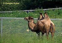 MA37-002z  Bactrian Camel - Camelus bactrianus