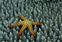 A sea star ( Fromia indica ) on coral in the Solomon Islands