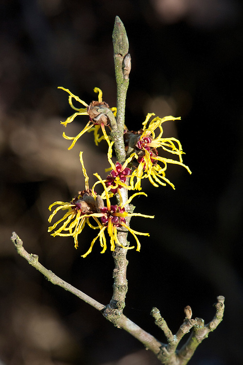 Witch hazel (Hamamelis x intermedia 'Ripe Corn'), end Janaury.