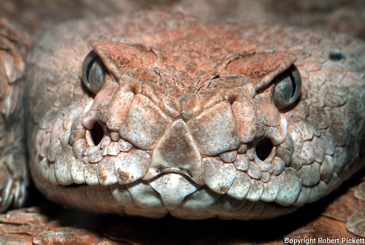Western Diamondback Rattlesnake, Crotalus atrox, USA, America, venemous, poisonous, close up showing pit heat sensors on front of face