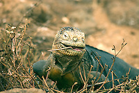 """The Galápagos land iguana. Its generic name, Conolophus, is derived from the Greek words, conos meaning """"spiny"""" and lophos meaning """"crest."""" It is estimated that between 5,000 and 10,000 land iguanas are found in the Galápagos, primarily the islands of Fernandina, Isabela, Santa Cruz, North Seymour, Hood."""
