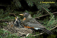 RO02-005z   American Robin - adult preparing to sit on young for protection - Turdus migratorius