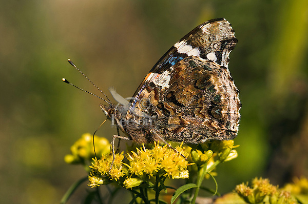 Red Admiral Butterfly (Vanessa atalanta) underside view, sips nectar from Goldenrod flowers (Solidago sp.) in September, Rondeau Provincial Park, southwestern Ontario, Canada. The camouflage patterns on its underside help the Red Admiral blend into background of its woodland habitat. As goildenrod pollen is too sticky and heavy to be dispersed on the wind, the plant relies for pollination on the numerous insects who feast on its pollen and/or nector.