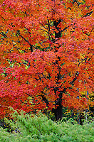 A Red Maple tree is contrasted with green juniper bushes, Door County, Wisconsin
