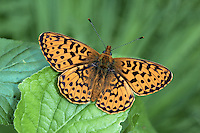 Pearl-bordered Fritillary Boloria euphrosyne Wingspan 42mm. A classic woodland butterfly whose fate is linked to appropriate habitat management. Adult has orange brown upperwings with dark markings; underside of hindwing is beautifully patterned with seven silver spots on the margin and two in the middle. Flies May-June. Larva is black with a pale lateral band, and yellow, hairy spikes on dorsal surface; feeds on violets. Widespread but local in British Isles; hotspots are southern England and west Scotland.