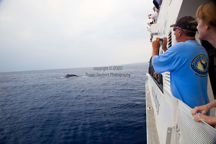 The Pacific Whale Foundation leads tours in large catamarans off the coast of Maui, Hawaii during whale season in the Hawaiian Islands Humpback Whale National Marine Sanctuary, one of the world's most important whale habitats, encompassing 1400 square miles in ethe waters of the Hawaiian Islands.  The Humpback Whale (megaptera novaeangliae) is a Baleen whale.