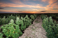 Industrial grade hemp grows on the Stanley Brother's farm near Wray, Colorado, Monday, September 22, 2014. The Stanley Brothers have developed a popular strain of marijuana that has been found to be helpful in reducing seizures. The marijuana high in CBDs and low in THC, the chemical which gets a person stoned.<br /> <br /> Photo by Matt Nager