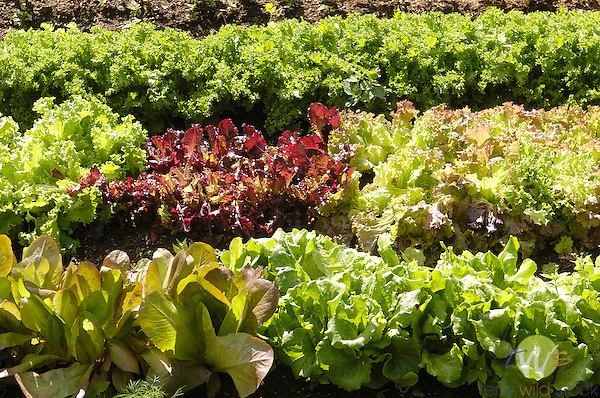 Blair Hill Inn, Greenville, ME. View of lettuce patch .