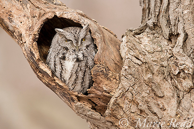 Eastern Screech-Owl (Otus asio), adult gray morph, sleeping in the entrance to its roost hole in a hollow tree, New York, USA