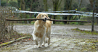 Retriever Luke holt am Samstag, 20.03.10, in Herten sein Stöckchen. <br /> Foto: Rainer Raffalski / WAZ FotoPool