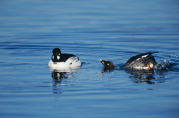 Common Goldeneye, Bucephala clangula, pair displaying, Rapperswil, Switzerland, Europe