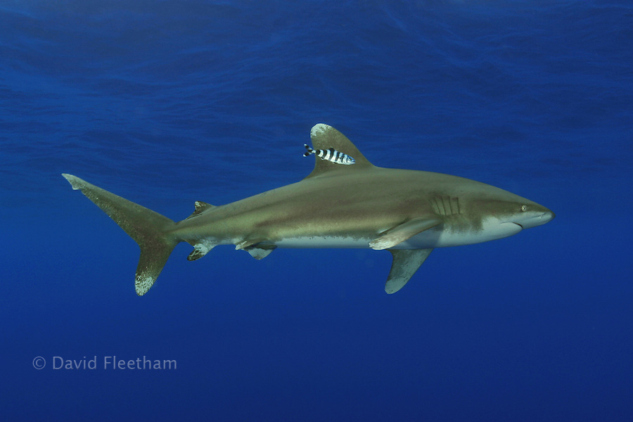 A small pilot fish sticks close to the dorsal fin of this oceanic whitetip shark [Carcharhinus longimanus].  This image was captured several miles off the Big Island.  Hawaii.