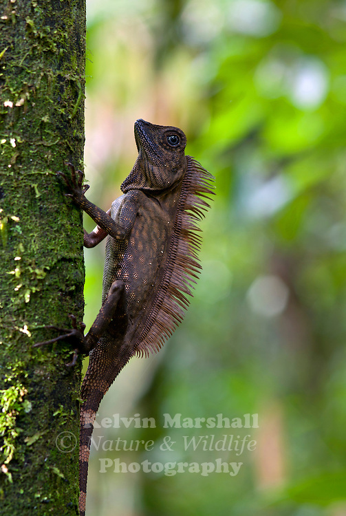 Male Borneo Forest Dragon  (Gonocephalus borneensis) <br /> Agamids, are lizards of the family Agamidae, include more than 300 species in Africa, Asia, Australia, and a few in Southern Europe. Many species are commonly called dragons or dragon lizards.