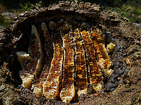 A chestnut tree trunk hive in the Cévennes. In this type of hive the construction by the bees is natural and we can see the honey combs.<br /> Une ruche tronc des Cévennes en châtaignier. Dans cet type de ruche la construction des abeilles est naturelle et l'on observe les rayons de miel.