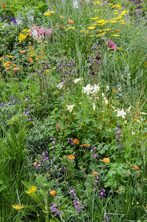 The Mindfulness Garden, designed by Martin Cook, Gold medal winner, RHS Chelsea Flower Show 2013. Mixed planting includes Nepeta 'Six Hills Giant', Papaver orientale 'Patty's Plum', Geum 'Mrs Bradshaw', Geum 'Lady Stratheden', Geum 'Cooky', Geum 'Totally Tangering', Vinca minor 'Atropurpurea', Aquilegia 'Black Barlow', Aquilegia'Crimson Star', Aquilegia 'Kristall', Veronica 'Tissington White', Digitalis 'Camelot Cream', Erysimum 'Bowles's Mauve', Astrantia 'Roma', Doronicum 'Finesse', Briza media, Deschampsia caespitosa, Campanula 'Blue Planet'