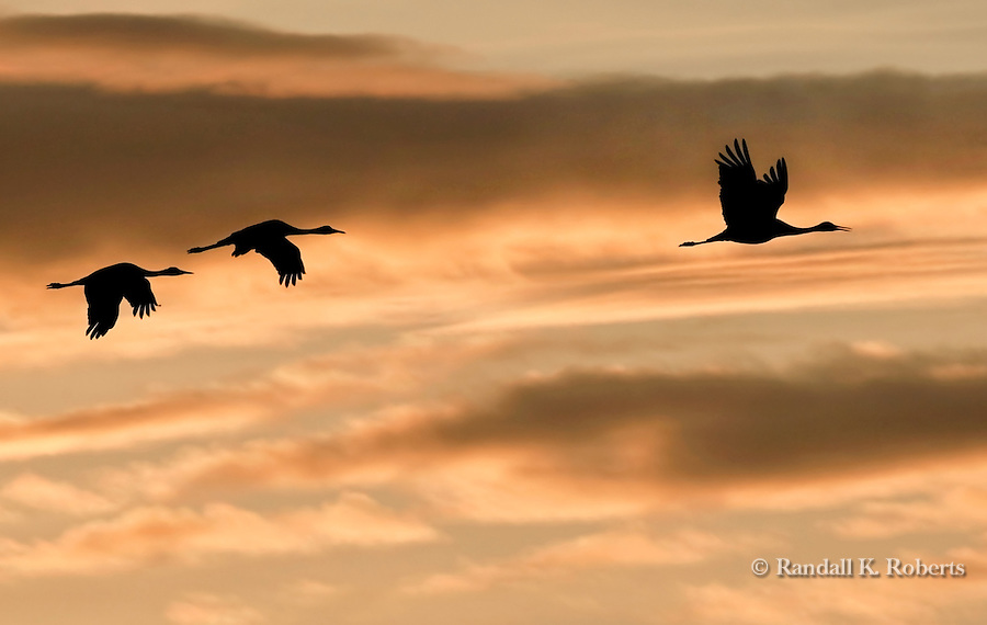 Sandhill cranes fly through the sunset sky over the Platte River near Grand Island, Nebraska.