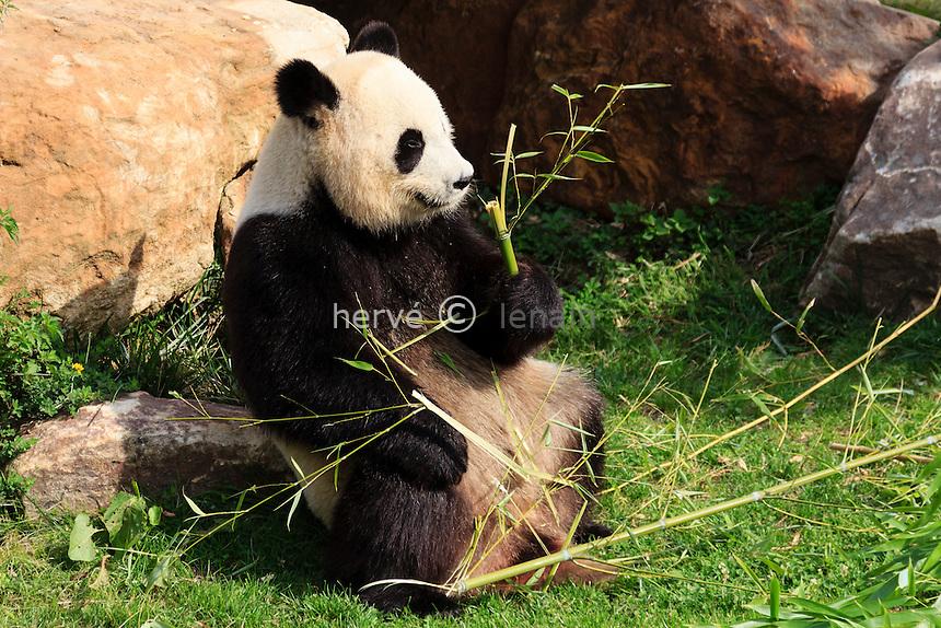 Panda géant (Ailuropoda melanoleuca) au Zoo de Beauval