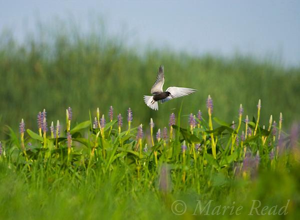 Black Tern (Chlidonias niger) hovering over marsh vegetation (Pickerelweed (Pontederia cordata)), Perch River Wildlife Management Area, New York USA
