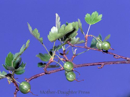 Gooseberries on vine with blue sky