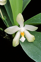 Phalaenopsis micholitzii 'Selby' fragrant orchid species endemic to the Zamboanga peninsula in the island of Mindanao, Philippines