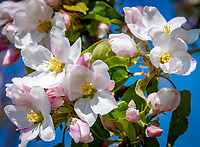 Deutschland, Bayern: Apfelblueten | Germany, Bavaria, Apple Blossom