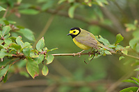 Hooded Warbler (Wilsonia citrina), adult male, South Padre Island, Texas, USA