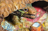 Barred-fin moray, Gymnothorax zonipectus, Lembeh Strait, North Sulawesi, Indonesia, Pacific