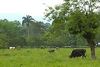 Ganado de leche y carne en la zona de Bonao.Lugar:Ciudad de Bonao Provincia Mon Señor Noel.Foto:Cesar de la Cruz.Fecha:.
