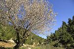 Israel, Jerusalem mountains, Almond tree in Ein Nekofa