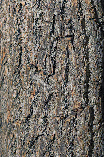Sassafras tree (Sassafras albidum), close-up of bark. Carolinian Forest. Canada's smallest and most southerly forest. Lake Erie shore, Ontario.
