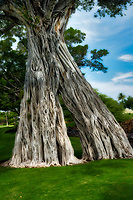 Bodhi Tree. Mauna Lani Drive. Hawaii, The Big Island