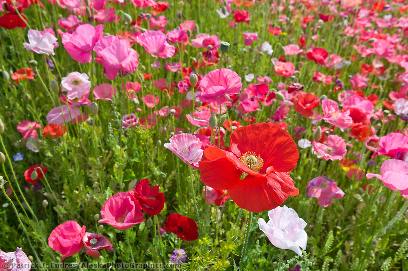 Field of red and pink poppies near downtown Fairbanks, Alaska