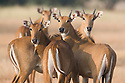 India, Gujarat Group of female nilgai (Boselaphus tragocamelus), dry season