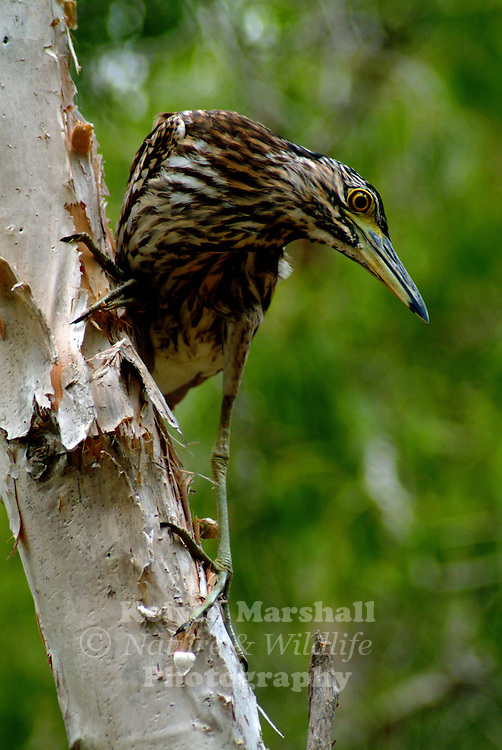 The Nankeen Night Heron, Nycticorax caledonicus, also commonly referred to as the Rufous Night Heron, and in Melanesia as Melabaob, is a medium-sized heron. It is found throughout much of Australia except the arid inland, Indonesia, the Philippines, Papua New Guinea and Melanesia.
