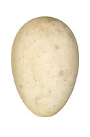 Puffin - Fratercula arctica