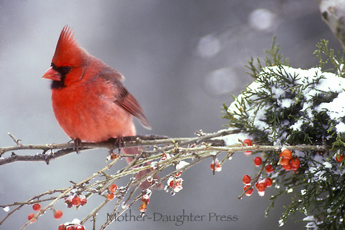 Male Cardinal, Cardinal cardinalis, on snowy branch with red holly berries, Missouri, USA