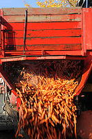 A farm truck dumps a load of carrots for cleaning at Vanderweele Farm in Palmer, Alaska.
