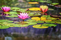 Lily pads and flowers at the Royal Botanical Gardens in Hamilton.
