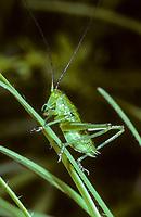 Grünes Heupferd, Entwicklungsreihe, 4. Larvenstadium, Larve, Nymphe, Weibchen, Großes Heupferd, Großes Grünes Heupferd, Grüne Laubheuschrecke, Tettigonia viridissima, Great Green Bush-Cricket, Green Bush-Cricket, female, la grande sauterelle verte, Tettigoniidae